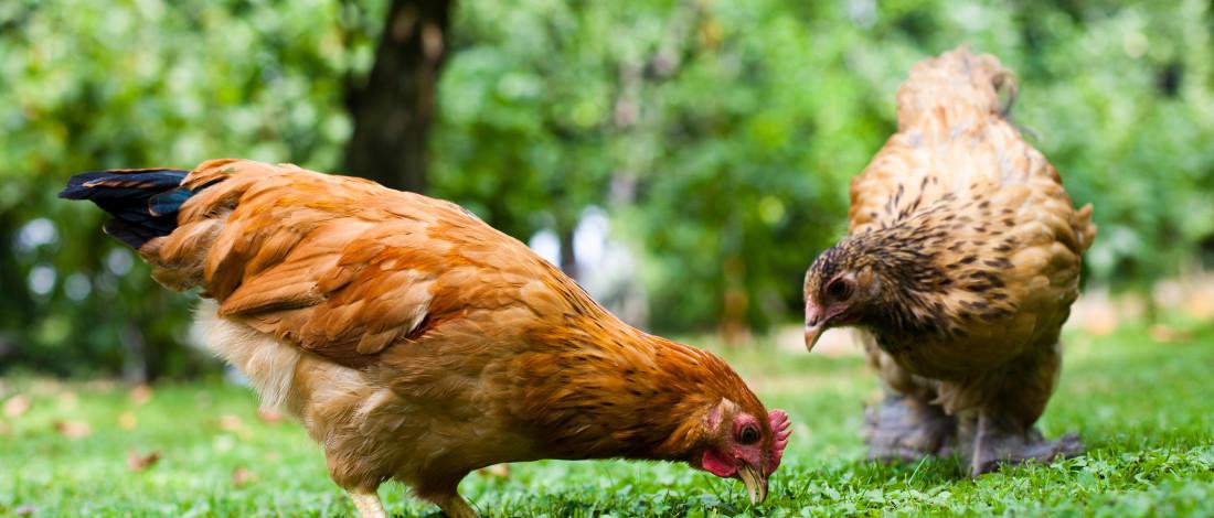 animalerie poule domestique