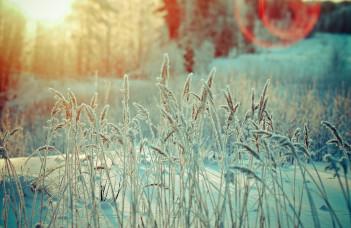 Jardin de blé en hiver