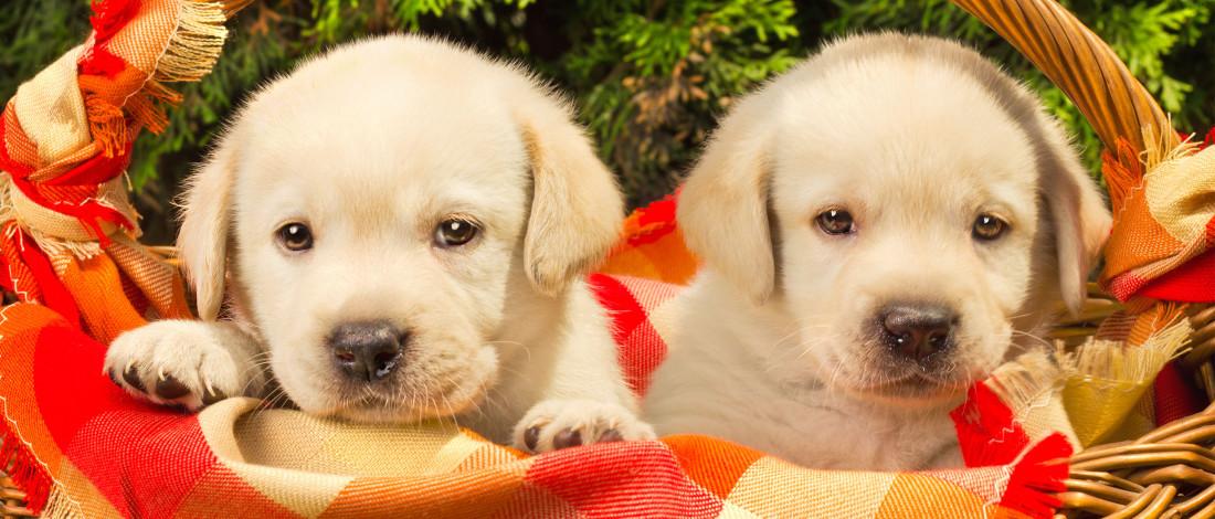 Deux chiots placés dans un panier avec une couverture