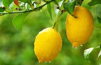deux citrons sur un citronnier